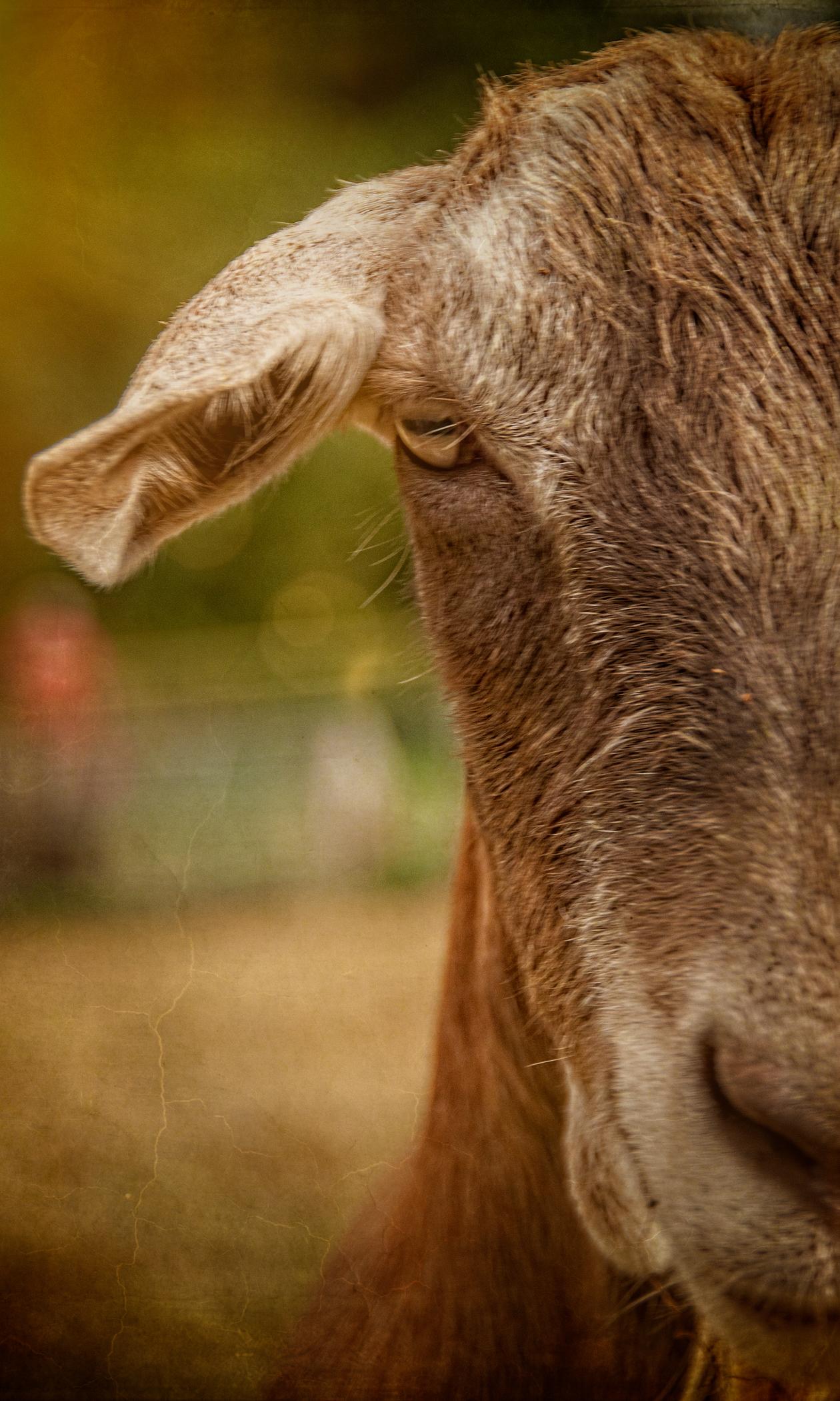 Farm_Animals-3